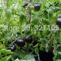 Семена черного помидора Indigo Rose (в пакете 100 шт.)