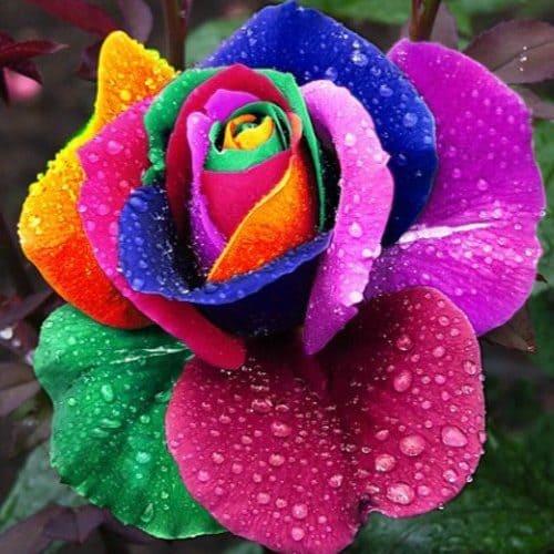 Семена голландской радужной розы