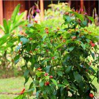 Семена цветка Psychotria Elata (цветок-губы, губы Хукера) 100 шт.