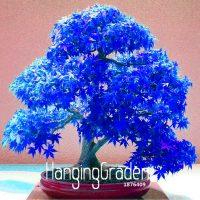 Семена синего японского призрака клена
