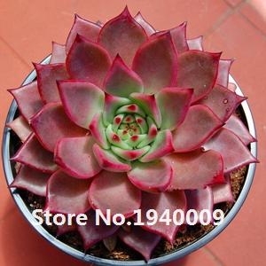 Семена растений литопс Lithops pseudotruncatella 50 шт./пакет