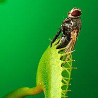 Семена мухоловки