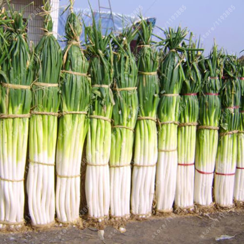 Семена большого зеленого лука 100 шт.