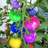 Радужные разноцветные помидоры 100 шт. семян