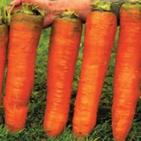 Семена гигантской моркови 500 шт.