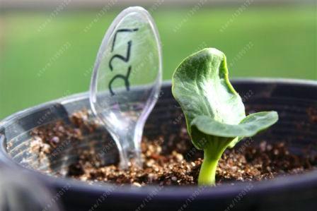 Семена гигантской тыквы 20 шт.